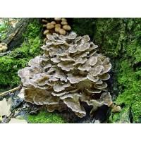 300 грамм Мейтаке (lat. Grifola frondosa)