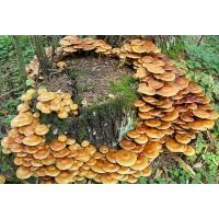 300 грамм Опенок летний (lat. Kuehneromyces Mutabilis)