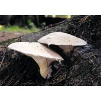 300 грамм Вешенка дубовая (lat. Pleurotus dryinus)